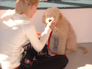 Labradoodle - How to train sit - Salt Lake City - Dog Training