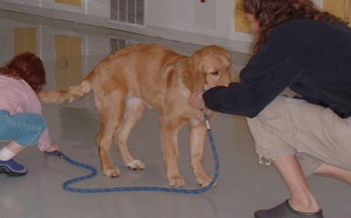 Golden Retriever - Puppy Training - Salt Lake City