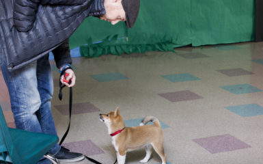Shiba Inu - Puppy Training - Salt Lake City