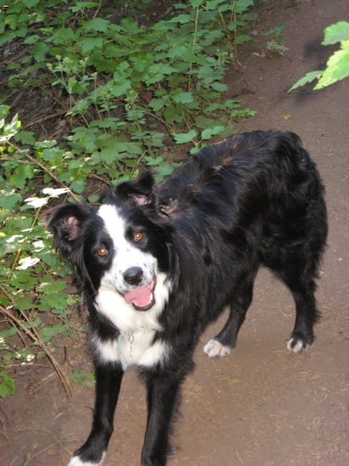 Border Collie - Dog Training - Salt Lake City